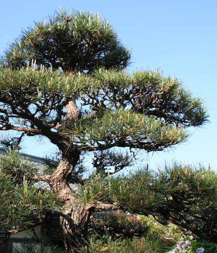 針葉樹の木(マツ・モミ)