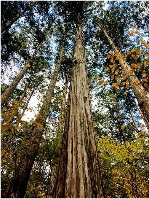 針葉樹の木材(ヒノキ・スギ)