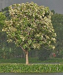広葉樹の木(チーク)